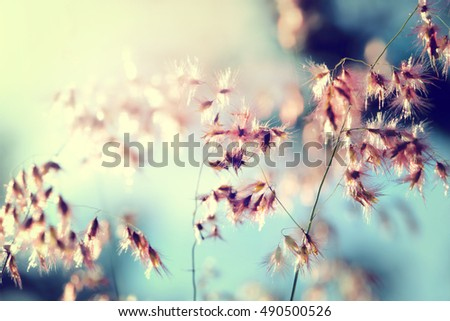 Melinis repens / Natal Red-top flower , blurry and soft focus under windy condition. - Shutterstock ID 490500526