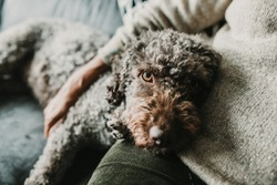 Middle aged woman hugging and loving her sweet spanish water dog on the sofa of her home. Pet friendly. Lifestyle.