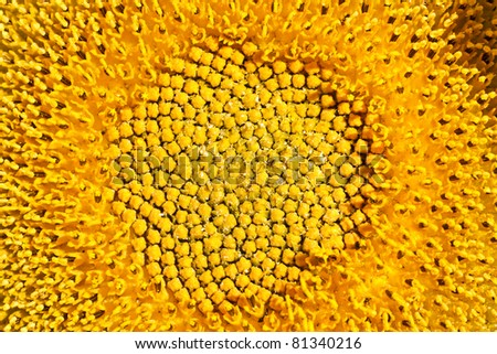 middle of sunflower