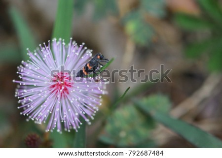 Mimosa flowers with pink yellow black insects beautiful pink mimosa flowers with pink yellow black insects beautiful pink flowers of mimosa tree mightylinksfo