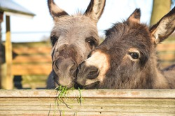 2 miniature donkeys cuddling while they are eating grass.