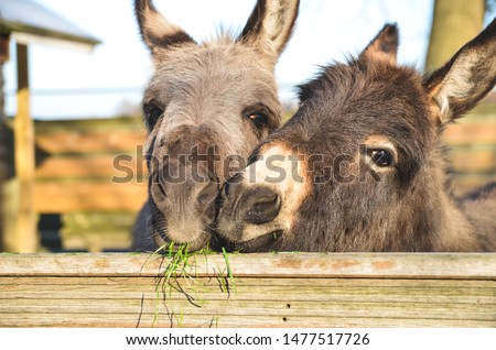 Photo of  2 miniature donkeys cuddling while they are eating grass.