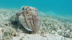 Mollusks, type of Mollusk. Head-footed mollusks. Cuttlefish squad. Pharaoh cuttlefish.