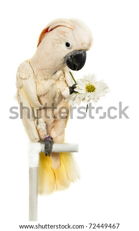 Moluccan cockatoo with flowers in her paw  sitting on a perch