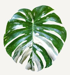 Monstera variegated leaf isolated on white background.  Tropical leaves. Tropical leaves variegated foliage exotic nature plants for books, textiles, packaging, curtains, postcards and wallpaper