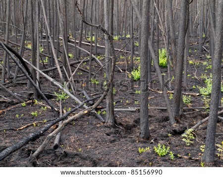 2 month after the forest fire: new green is already sprouting among charred logs.