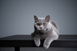 6 month old blue british shorthair kitten lying on front resting on wooden table with copy space