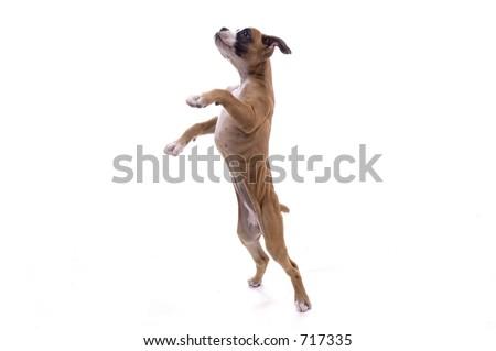 free photos 3 month old boxer puppy avopix com