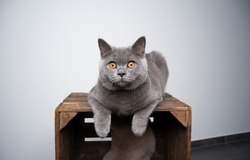 6 month old cute blue british shorthair kitten resting on top of wooden crate looking with copy space