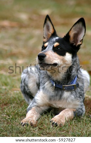 Blue Heeler Puppies on Month Old Female Blue Heeler Pup Stock Photo 5927827   Shutterstock