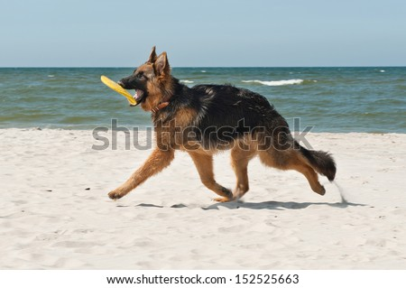 6-month-old German Shepherd puppy playing on the beach