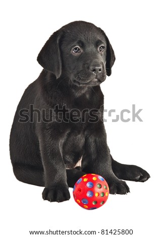 2 month old labrador retriever puppy with a ball