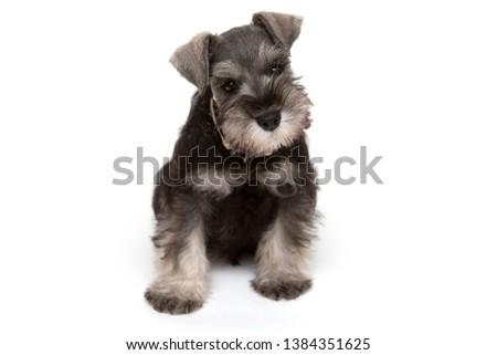 2 month old miniature schnauzer puppy. #1384351625
