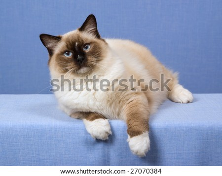 8 month old Ragdoll Seal Mitted lying on blue background