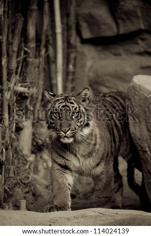 6 Month old Sumatran Tiger approaches