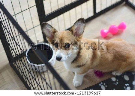 4 month old welsh corgi puppy in a crate during  a crate training #1213199617