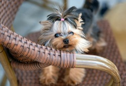 8-month-old Yorkshire Terrier puppy mini with hair piled in a ponytail on his head, sits on a chair and cheerfully looks into the frame