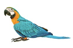 3 Months male blue and yellow macaw parrot isolated on white background.