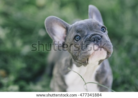 3 months old blue french bulldog #477341884