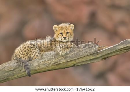 3 months old cheetah cub