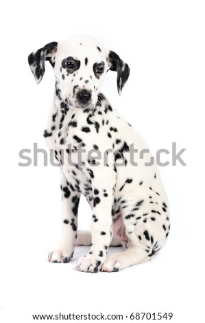 3 months old dalmatian puppy sitting on the white background. Studio shot
