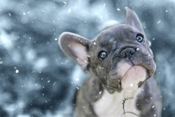 3 months old french bulldog and his first snow