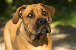 10 months young boerboel or South African Mastiff pup seen from the front close up in a forrest setting