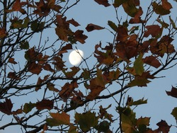 Moon between autumn tree branches and colorful leaves