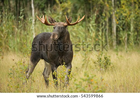 Moose stag during the rut in autumn, Lithuania, The European Union Moose in autumn