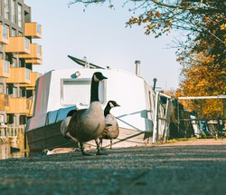 Morning ducks captured along the Little Venice canal.