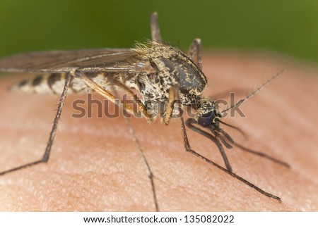 Mosquito sucking blood, macro photo with high magnification