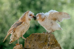 Mother and daughter Barn owl (Tyto alba). Mother feeds her young. Green bokeh background. Noord Brabant in the Netherlands.