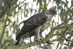 Mountain Hawk Eagle or Hodgson's hawk-eagle, is a large bird of prey native to Asia. The latter name is in reference to the naturalist, Brian Houghton Hodgson.