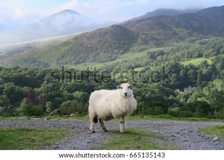 Mountain Sheep                               #665135143