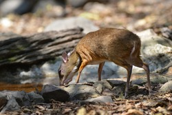 mouse deer in nature lives in Kaeng Krachan National Park, Thailand who are looking for food to eat naturally.
