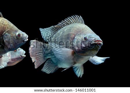 Mozambique tilapia, Oreochromis mossambicus, isolated on black, studio aquarium shot.