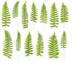 147 Mpx set.  Close up 13 leaf fern isolated on white background in macro lens shooting.