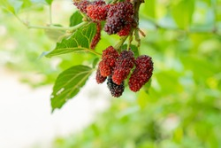 Mulberry, fruit that is rich in vitamins