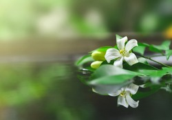 Murraya paniculata flowe on water with reflection in nature background
