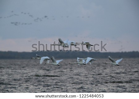Mute Swan in flight,  Darss , Baltic Sea , Germany #1225484053