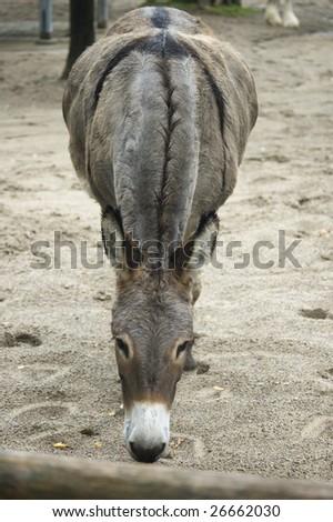 muzzling  donkey on  farm pen /  domestic animal