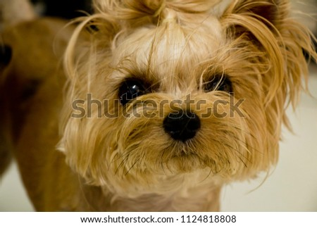 My dog is in a naughty moment.(yorkshire terrier) #1124818808