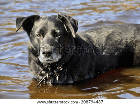 ?n old black dog is bathed in water. The dog is very hot.
