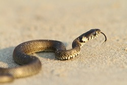 Natrix natrix - grass snake, juvenile on sand near the Black Sea