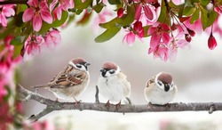 natural beautiful background with three small funny birds sparrows sitting on a branch blooming with pink buds in a may spring garden