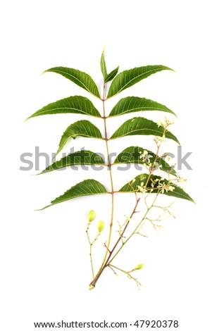 Neem leaves-Azadirachta indica