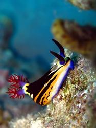 Nembrotha Nudibranch Red Sea, Nembrotha-megalocera