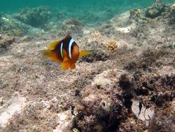 Nemo. Clown fish, amphiprion (Amphiprioninae). Red sea clown fish.