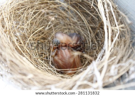 nestling in the nest and feather wings growth story of new born of bulbul bird which see in Thailand
