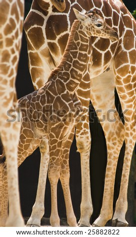 New born baby giraffe standing between the long legs of his family
